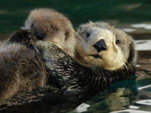 210070-baby-sea-otter