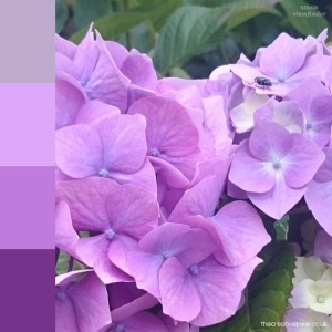 hydrangea-colours-thecreativepixie